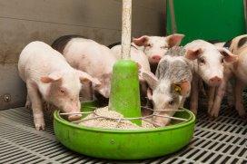 Pigprogress 5 Tips For Better Weaning