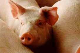 Mexico: PED causes US pigs to be banned