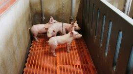 Do probiotics clean pig nursery units better?
