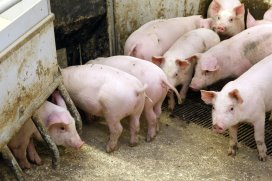 Chelated trace minerals boost piglet immunity and growth