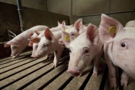 Why methionine is valuable for youngest pigs